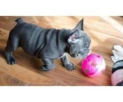 French Bulldog Puppies for Sale $